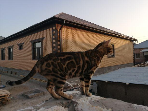 Ищем кота бенгальской породы для вязки