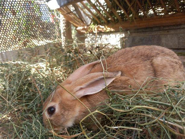 Продам кроликов пароды великан