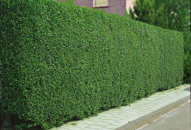 Lemn cainesc / ligustrum. Gard viu verde iarna permanent verde, minune