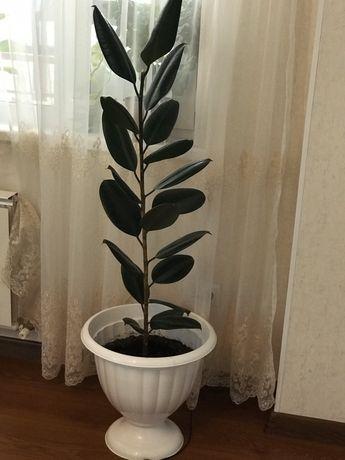 Продам цветок Фикус