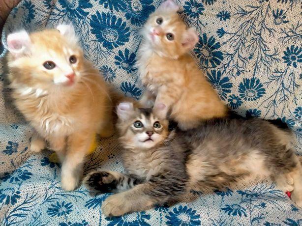 Котята редкой породы Американский Кёрл