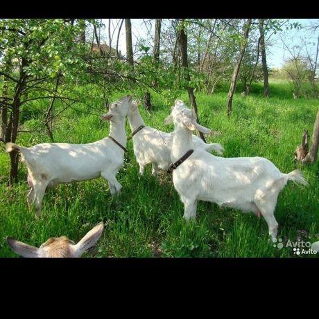 Дойные козы доставка по регионам