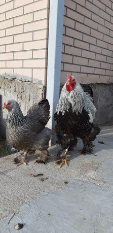 Брама темная ,семья, цыплята