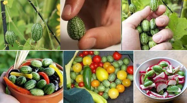 10 seminte Castravete mexican comestibil - pepeni in miniatura!
