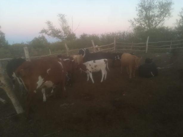 КРС  коровы молочные, телки, Оптом