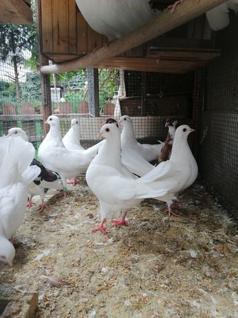OFERTA! Porumbei albi de vanzare