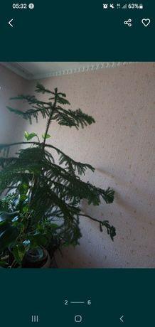 Ель живая не искусственная домашнее растение араукария