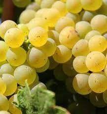 Vând struguri pentru vin, soi Riesling.