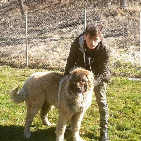 Ciobanesc caucazian femela varsta 2 ani.