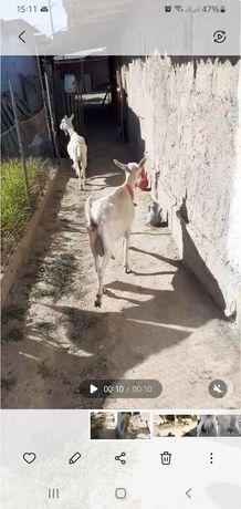 Зааненские козы.