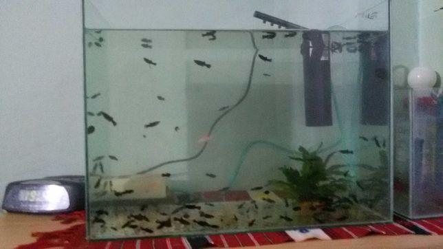 Vand Pești Moly cu acvariu