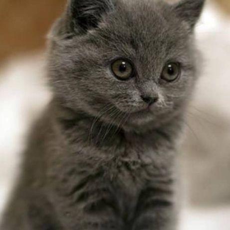 Котенок мальчик серого окраса!