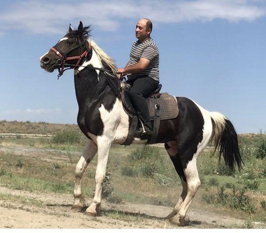 Айгыр , конь , жеребец