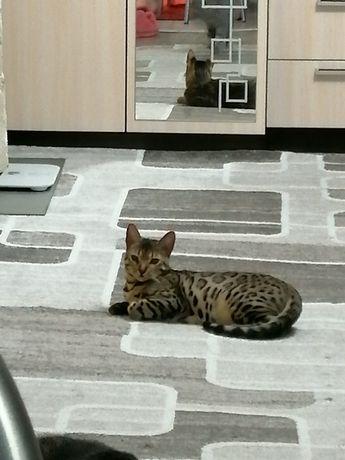 Продам бенгальскую кошку