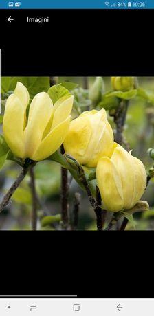 Vindem magnolie galbenă
