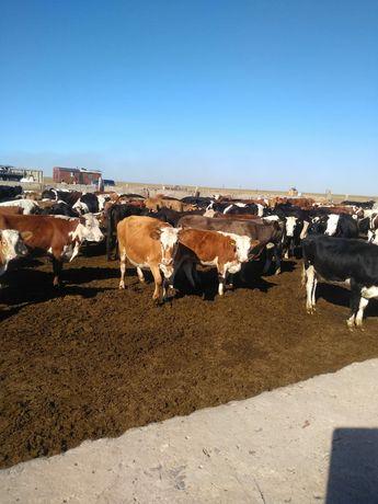 Продам коров с телятами подсосные,коровы молодые.цена 450000т