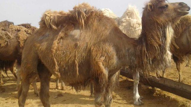 Продаем стаю верблюдов
