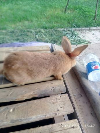 Породные  кролики  дешево. Срочно.