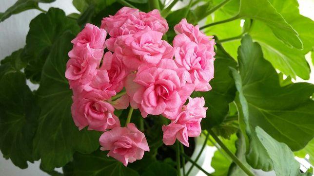 Сортовая пеларгония Grainger s antique rose