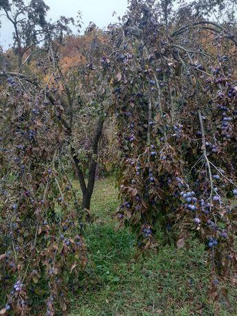 Vand prune (goldane) anumit pentru țuică!