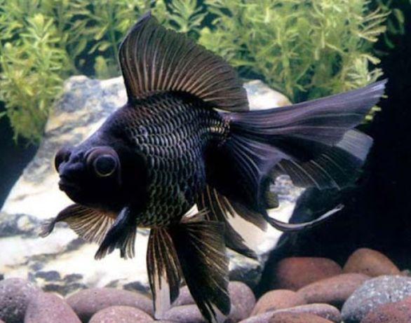 Рыба телескоп из рода золотых рыб