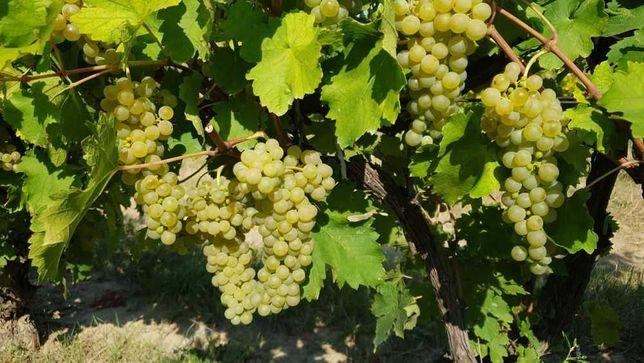 Struguri de vin soiuri alese rosii si albi, transport acasa la client