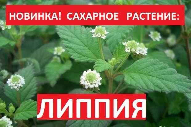 ЛИППИЯ Сладкая - замените вредный сахар натуральным и полезным!