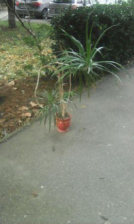 Planta pentru interior Dracena