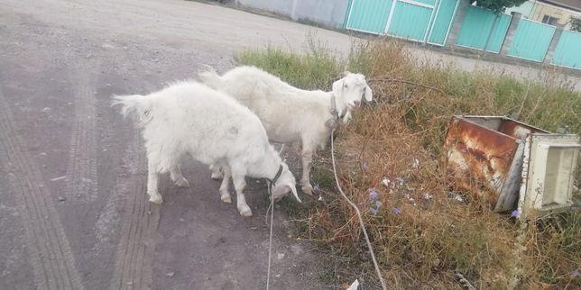 Зайнские козы мама и дочка первородка