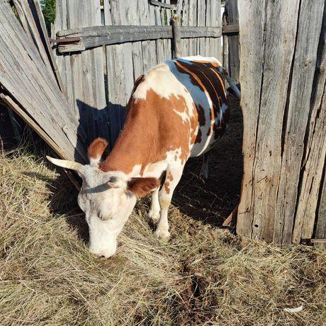 Продам корову с хорошим удоем