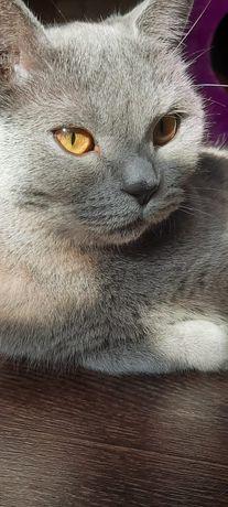 Шотландская кошка девочка