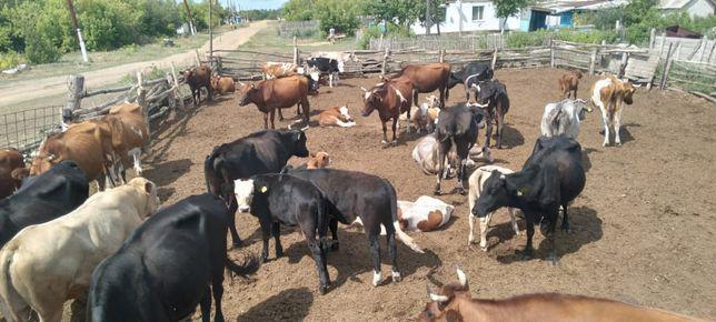 Продам оптом коровы с подсосными телятами 30голов