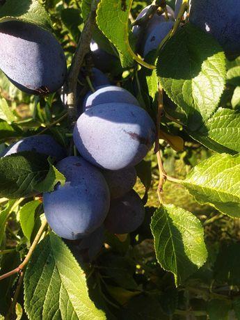 Vand prune, mere, pere, struguri din livada proprie