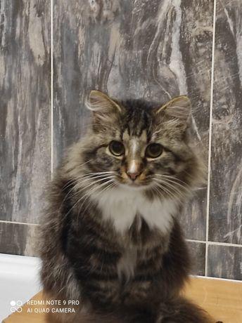 Ищу кошку сибирской породы для кота