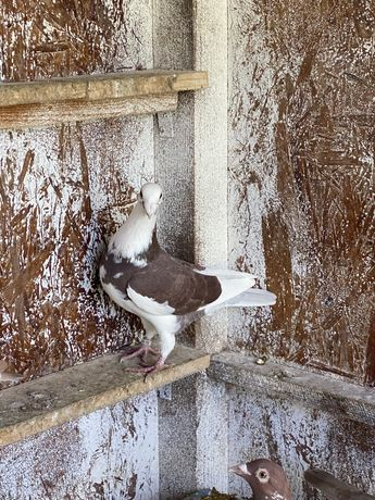 Porumbei voiajori simi