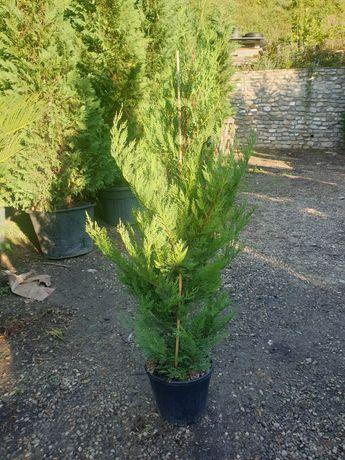 Vând leylandi mai multe înălțimi și alte tipuri de plante