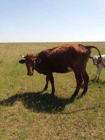 Продам Корову 5 лет стельную + бычок 4 месяца