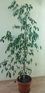 Бенджамин растение