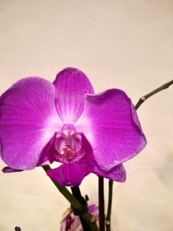 Продам комнатные цветы Орхидеи.