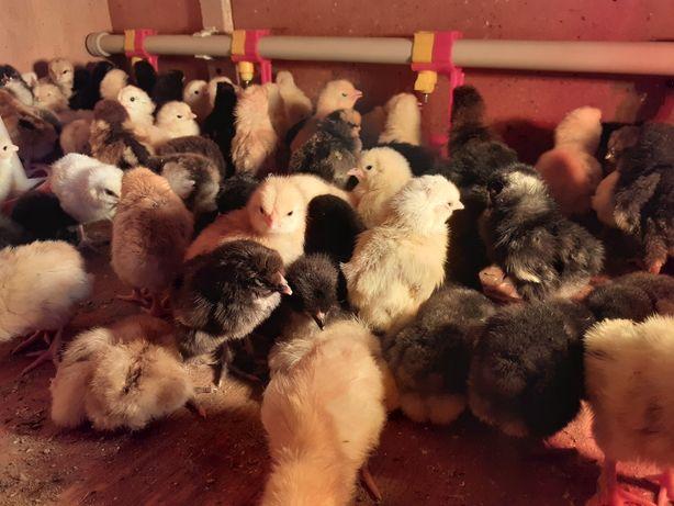 Балапан цыплёнок