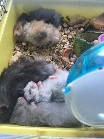 Хомячки малыши