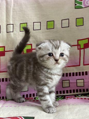 Шотладский котенок