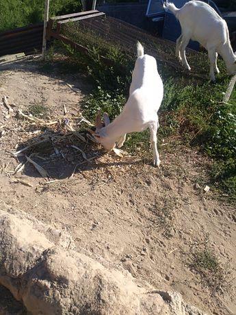 Зааненский козы без Роги