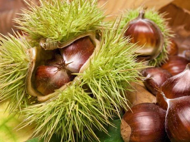 Castan comestibil plante