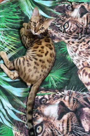 Бенгальский кот  ищет подругу