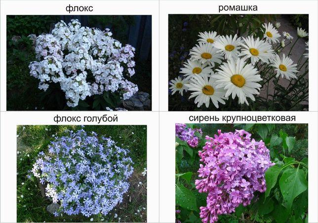 Цветы садовые многолетние рассада