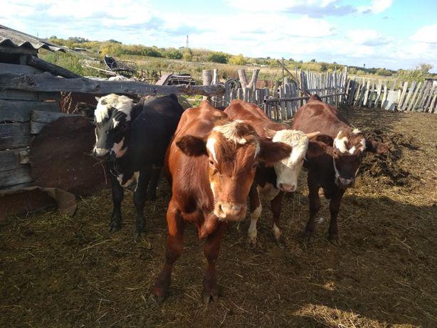 Продам бычков, корову