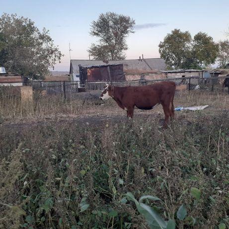 Құнажын сатамын.скот корова.270-мың