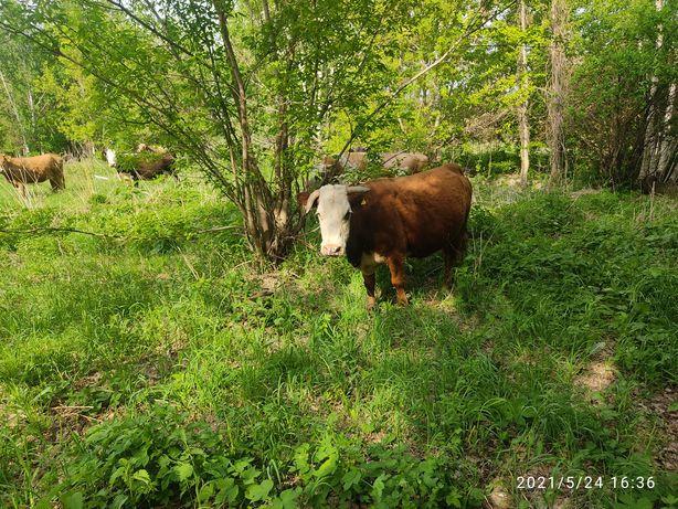 Корова,телки,телята,бык.