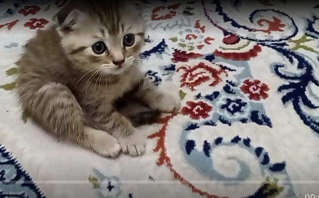 Котенки породистые